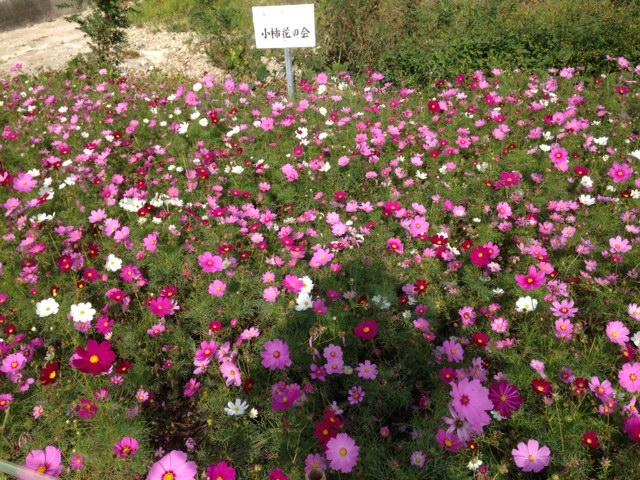 きれいなコスモスの花