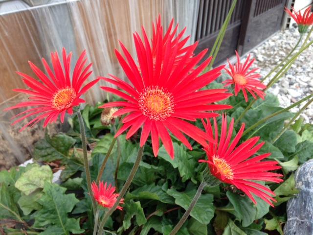 ガーベラの花