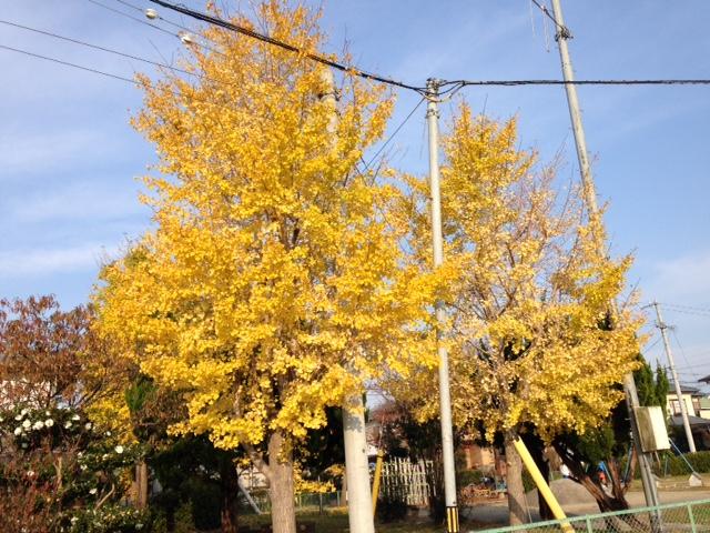 紅葉した銀杏の木