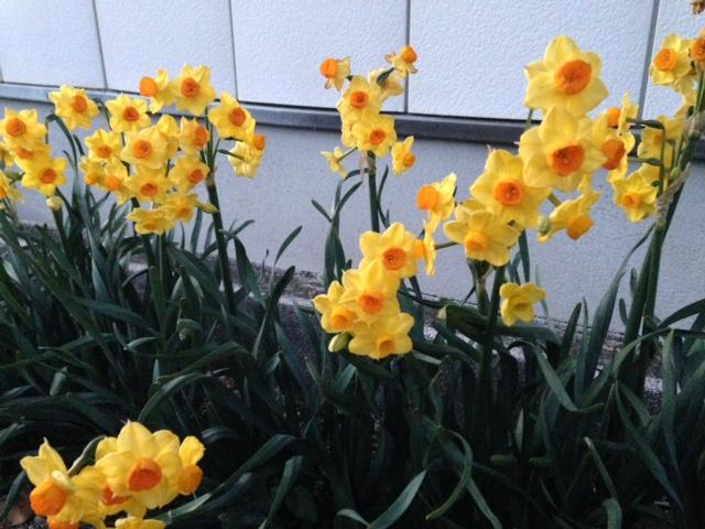 夕方、訪問したお宅で咲いていた水仙