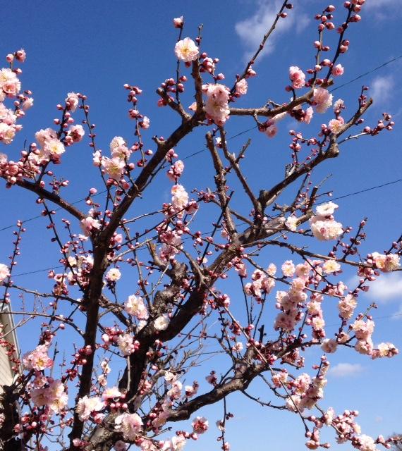きれいな梅の花