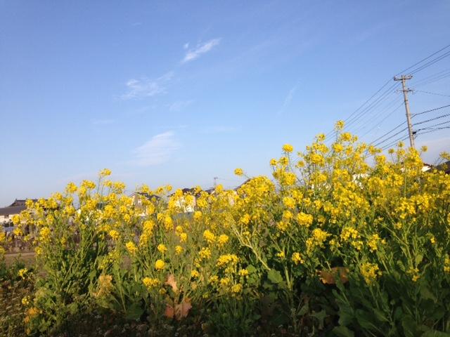 藍住町で見つけた菜の花