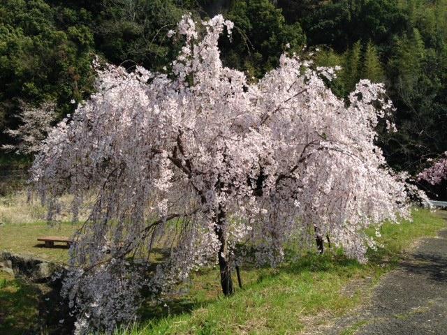 泉谷のしだれ桜
