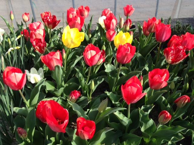 きれいなチューリップの花