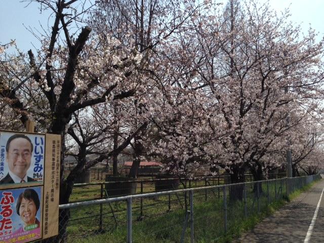 ふるたみちよさんの桜の下でにっこり