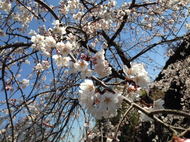 泉谷の桜が咲いた