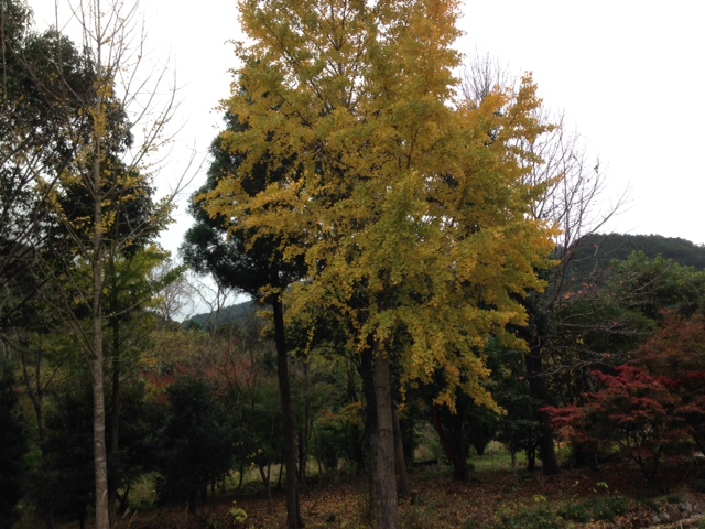 紅葉したイチョウの木