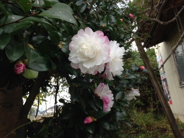 我が家に咲いた花