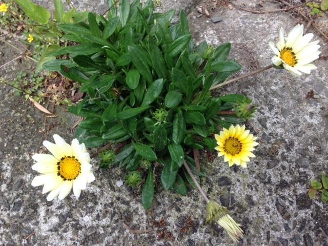 我が家の玄関前に咲いた花