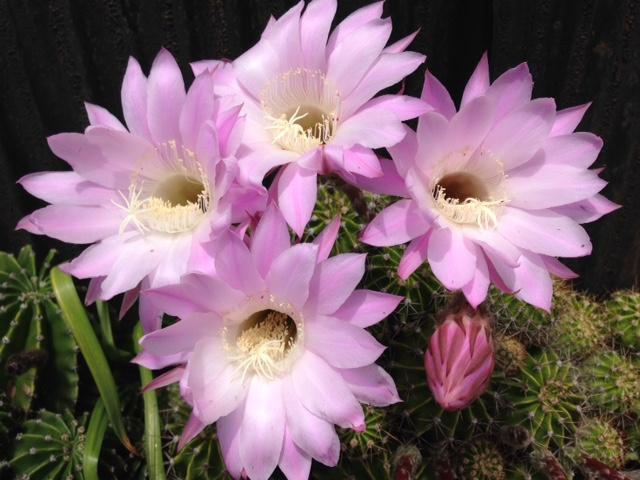 きれいに咲いたサボテンの花