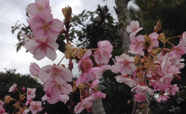 我が家の桜の花