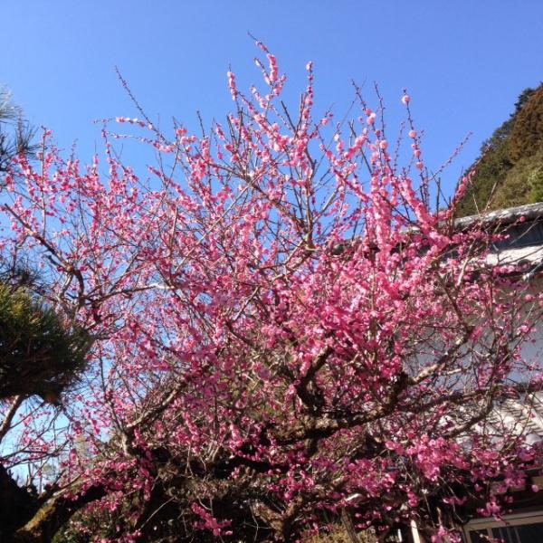神山町 きれいな梅の花
