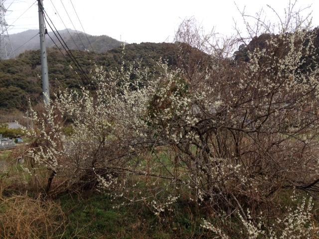 神山にて きれいに咲いたね