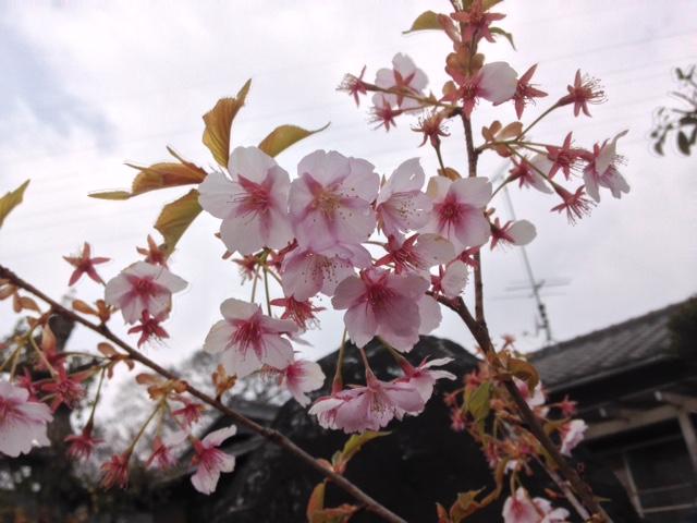 庭に咲いた桜の花