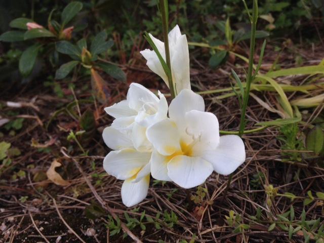 我が家の庭に咲いた花