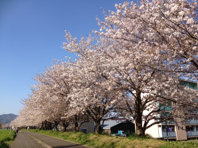 藍住町桜つつみ公園!