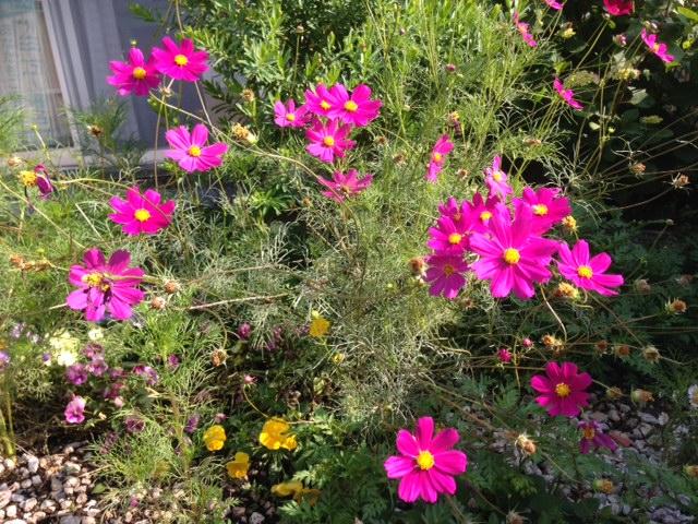事務所前に咲いたコスモスの花