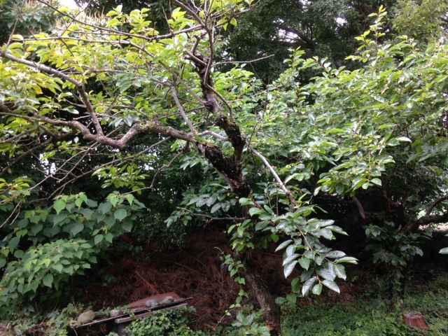 我が家の裏にある古い柿の木