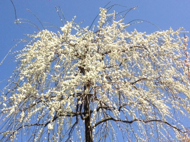 梅の花まつり