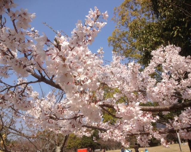 文化の森の満開の桜