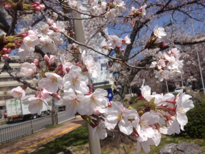 鳴門市役所の桜