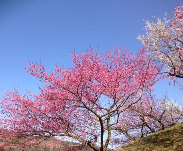 梅の花まつり 美郷