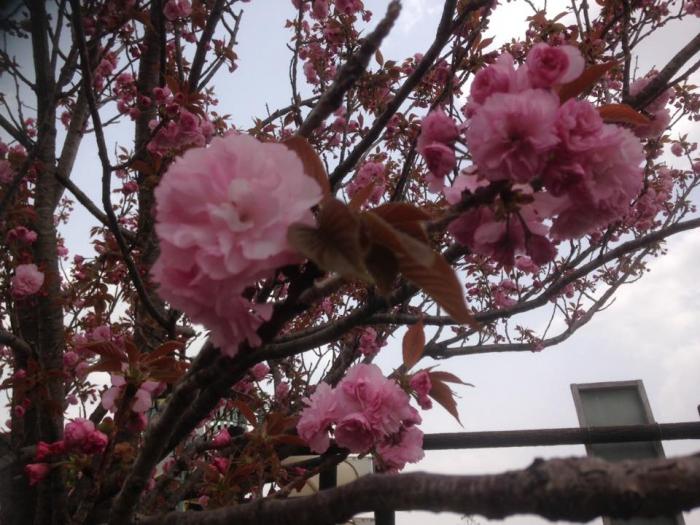 桜 藍住町にて