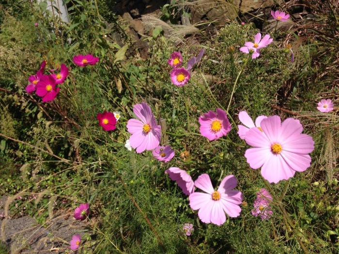 線路の脇に咲いたコスモス